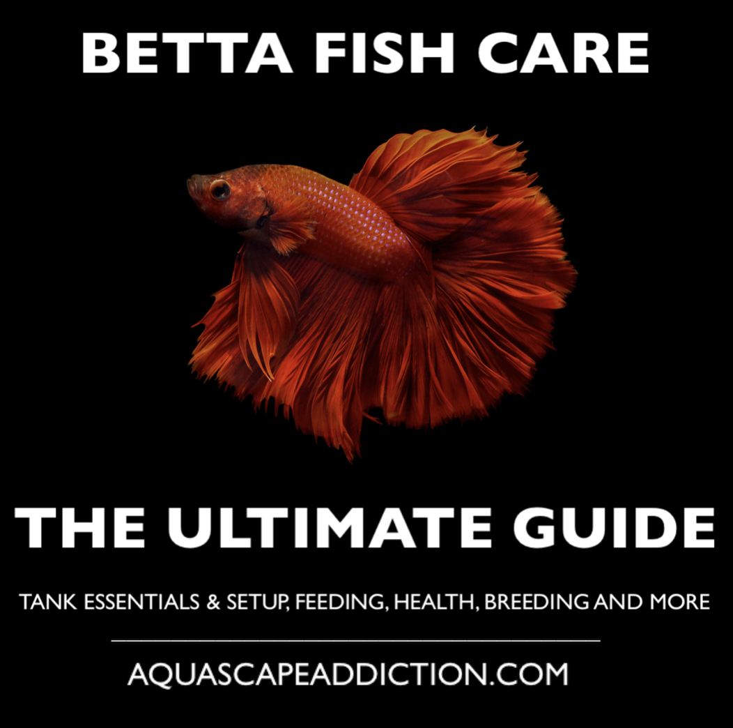 Betta fish care the ultimate guide for Betta fish care guide